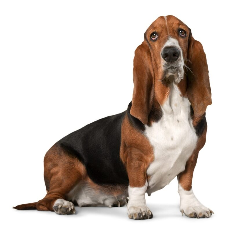 Bassett Hound - Dog Breed Bio from Alldogboots