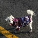 American terrier