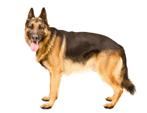 Breed Bio – German Shepherd Dog