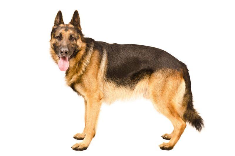 german shepherd standing