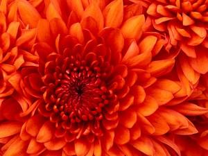 Chrysanthemum.psd