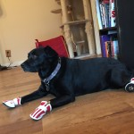Misha taking a break after a walk in new boots!