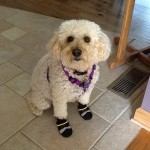 My Dog in Shoes