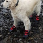 "Stewie wearing his ""barnacle booties"" on the west coast!"