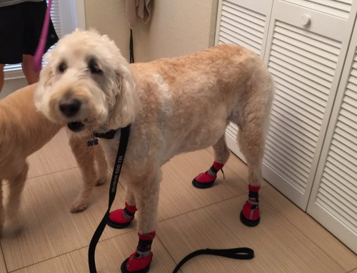 Hip Dysplasia Boots For My Dog Work!