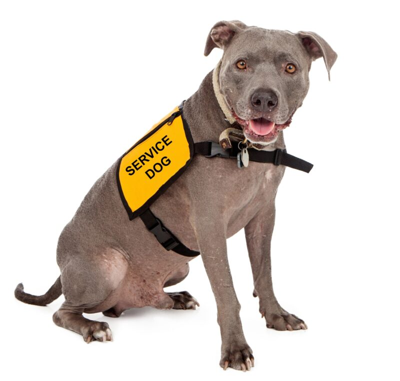 A happy blue Pit Bull dog wearing a yellow service dog vest
