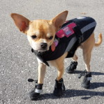 Timbit the Hearing Service Dog