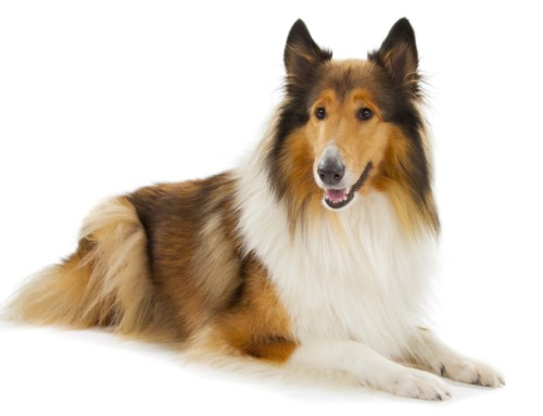 Breed Bio – Collie