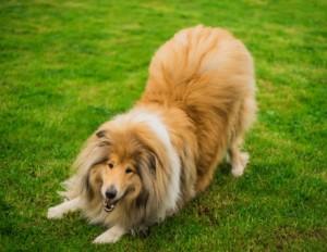 Verhalten beim Hund - Spielverhalten beim Collie