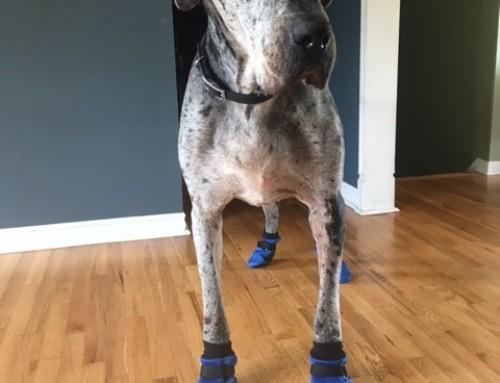 Great Dane Booties for Slippery Floors!