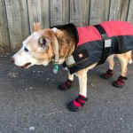 Rosie Wearing Her Dog Boots