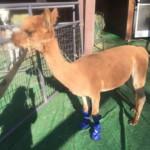 Coco the Alpaca