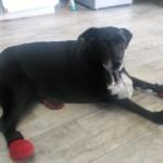 My 14 Year Old Dog Can Walk Again!