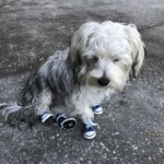 Gizmo and his new sneakers.