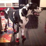 Bentley in his new boots!