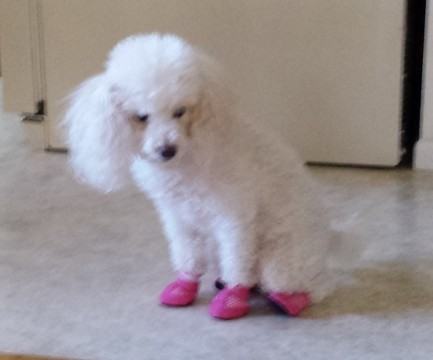dog tries slippers