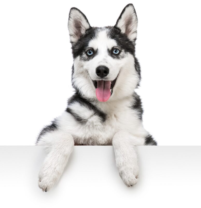 Siberian Husky Dog Breed Bio From Alldogboots