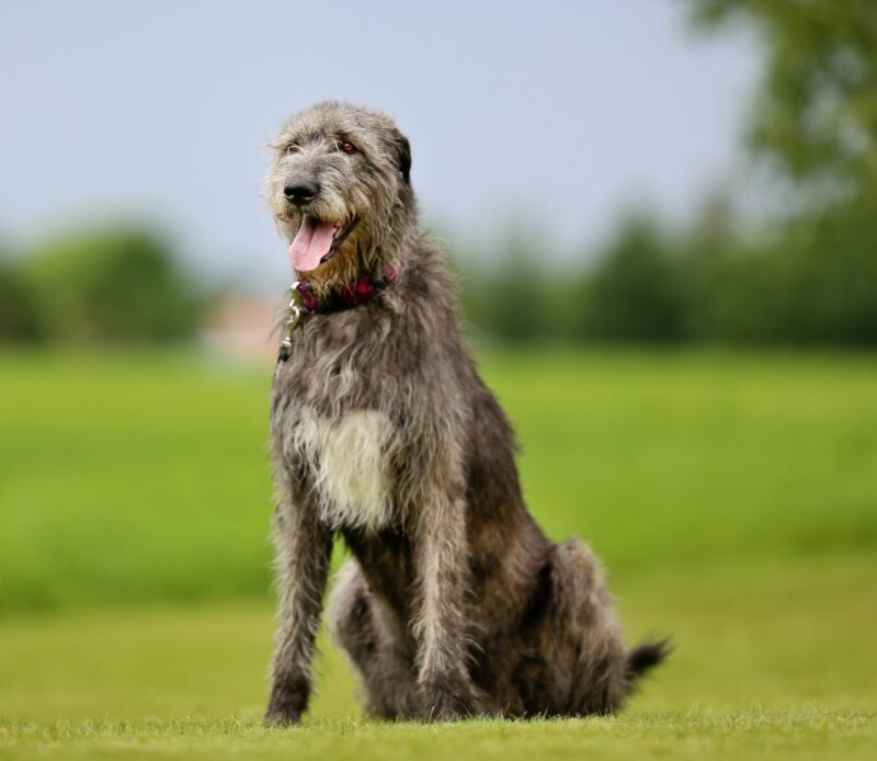 Breed Bio – Irish Wolfhound