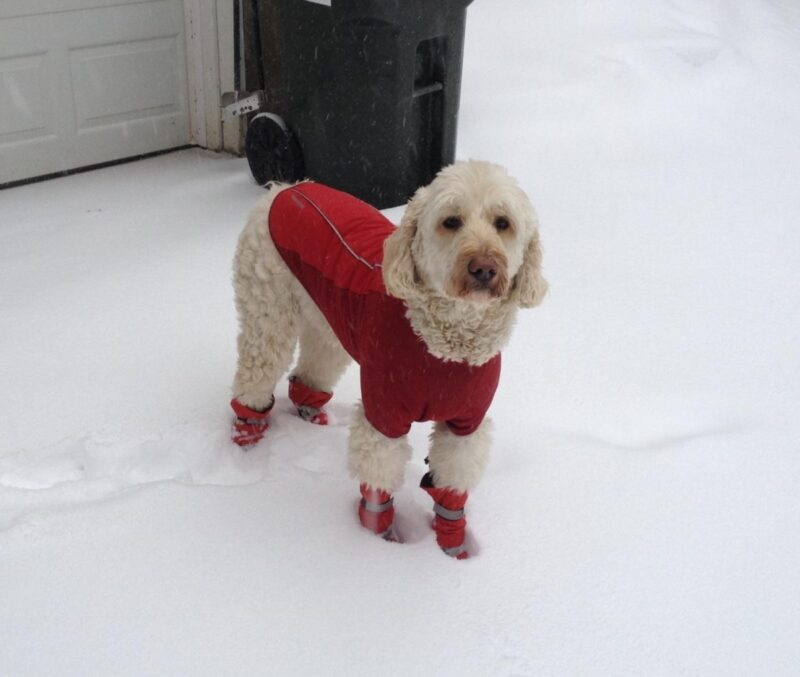 labradoodle tall dog boots