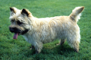 cairn-terrier-dog-new
