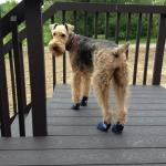 Schnauzer in dog boots