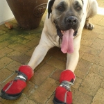 boerboel is wearing huge boots!