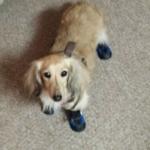 dachshund booties