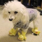 poodle wearing duckie slippers