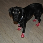 Lab Wearing Pink Dog Snow Boots