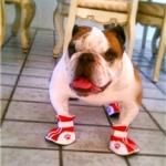 Bulldog Wearing Summer Dog Shoes
