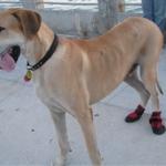 Great Dane Wearing Ultra Paws