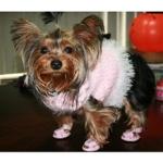 Yorkie Wearing Pink Dog Sandals
