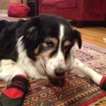 Border Collie Dog Booties For Arthritis