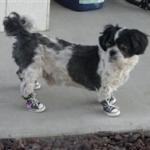 Shih Tzu Dog Sneakers