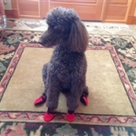 Non Slip Dog Booties for Rufus