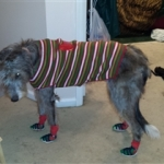 Irish Wolfhound is Wearing Sandals and Socks!