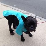 My AdorableFrench Bulldog