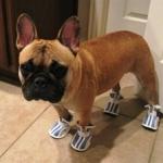 French Bulldog in Kicks