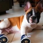 French Bulldog Wearing Sneakers