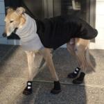 Greyhound named ron