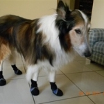 Conde the Collie