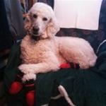 Poodle Wearing Indoor Dog Booties