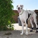 Great Dane Wears Orthopedic Dog Boots