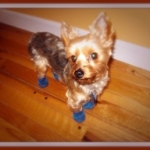 Yorkie Is Protected From Hot Pavement with Dog Booties