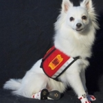 Dog Sneakers Help a Service Dog