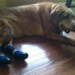 Elderly Dog Uses Non Slip Dog Booties to Walk Better