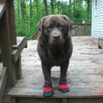 Rottweiler Wears His Ultra Paws for Protection