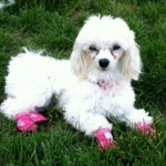 Mini Poodle Needs Dog Booties for Allergy Relief