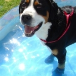 Therapeutic Dog Boots Help with Water Therapy