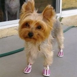 Summer Sneakers Protect Yorkie from Hot Pavement